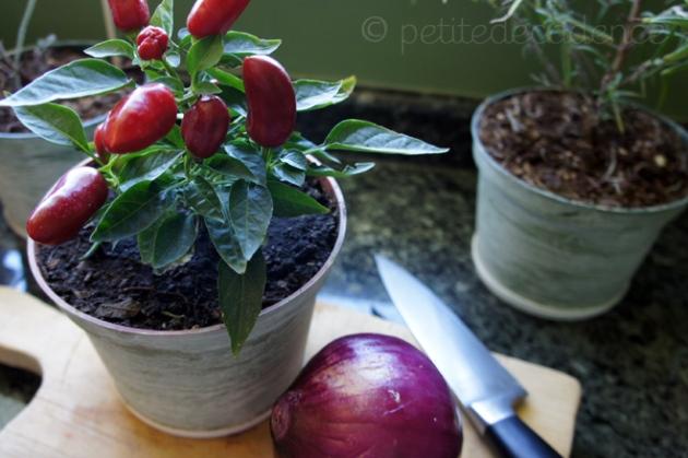 Habanero chile