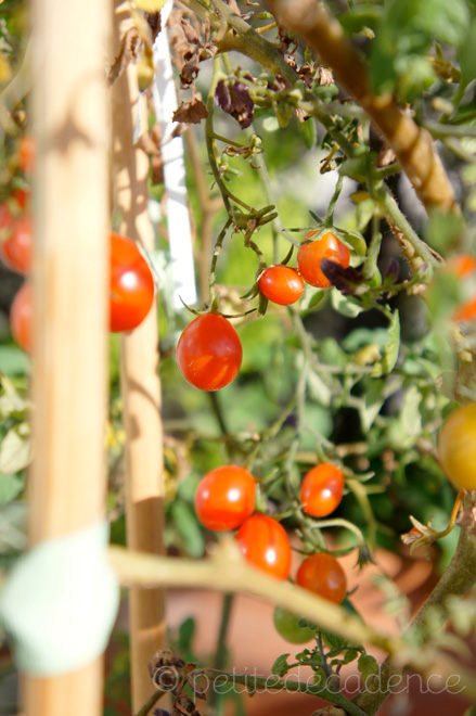 Cherry tomato plant in full production